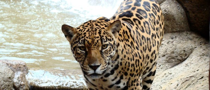 jaguars were extinct in the north pacific region of the country during many decades