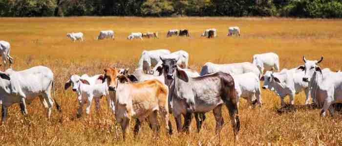 the main activities in the guanacaste province are tourism cattle raising and agriculture