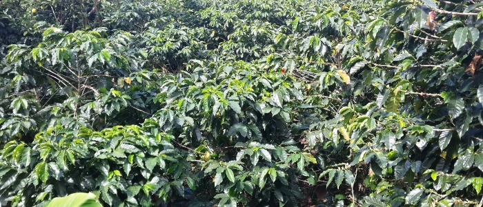 coffee plantations in costa rica