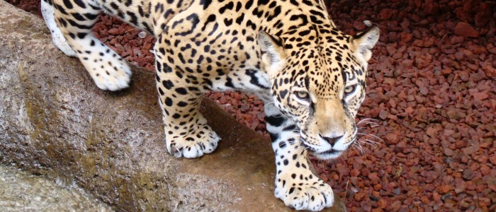 beautiful jaguar at la paz waterfall gardens in costa rica