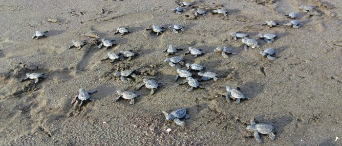 baby turtles at the beach in costa rica