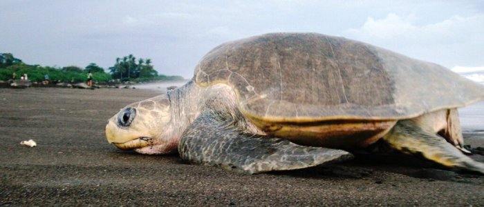 turtle nesting in costa rica