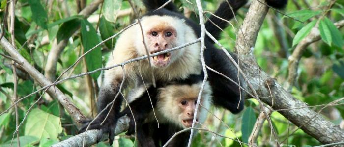 best place to spot monkeys in costa rica